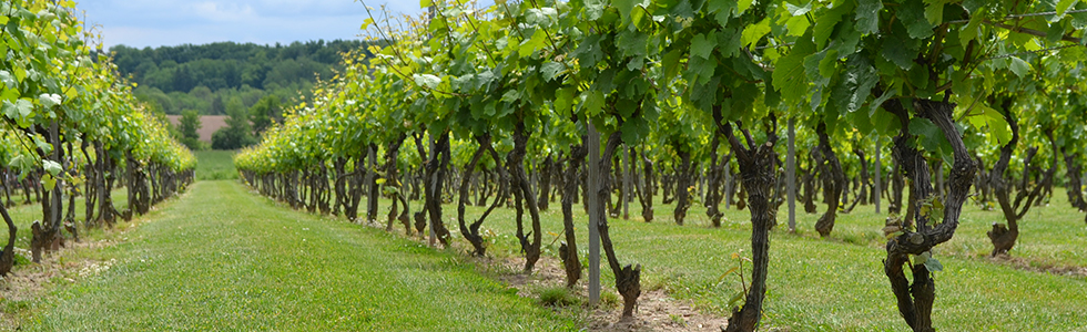 vineyards_980x300