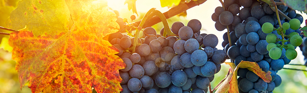 grapes-in-sunshine_980x300